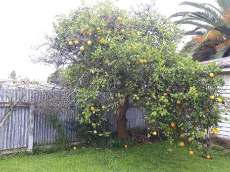 ancient lemon tree