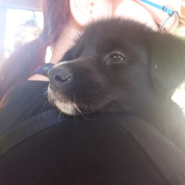 5 week old Husky pup