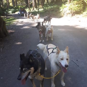 Huskies at work